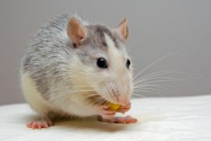 Mice can have coronavirus brain damage, too (Pixabay)