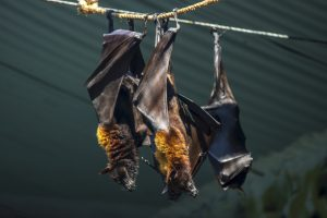 Nipah virus started out in fruit bats (Paulo Imperio Ferraz Ribeiro da Silva )